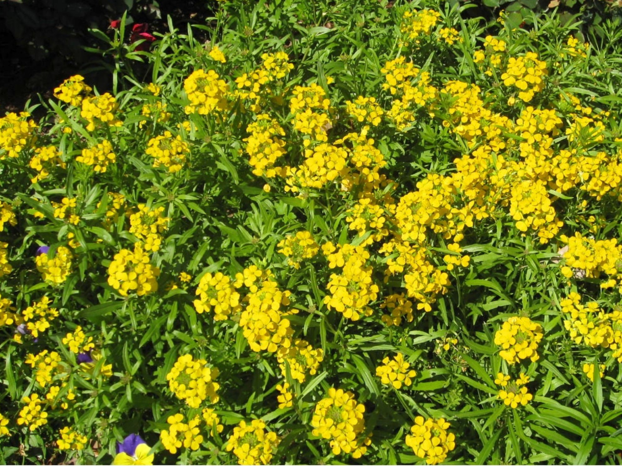 Common Yellow Flowers 35 Free Wallpaper