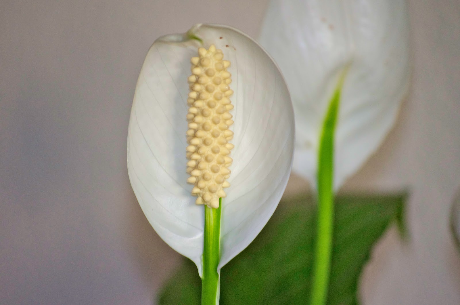 Green flowers on peace lily 36 high resolution wallpaper green flowers on peace lily hd wallpaper izmirmasajfo