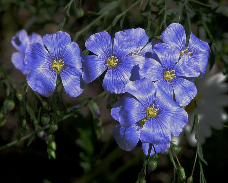 List of blue flowers 13 widescreen wallpaper hdflowerwallpaper list of blue flowers desktop background izmirmasajfo