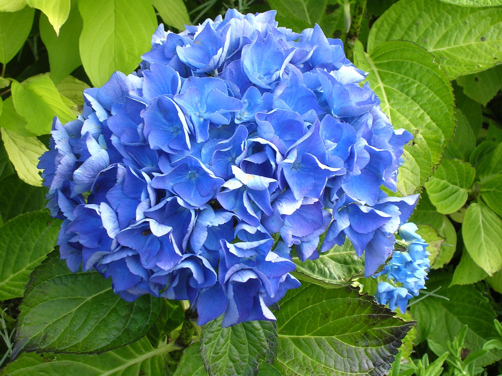 List Of Blue Flowers 12 Background Wallpaper Hdflowerwallpaper