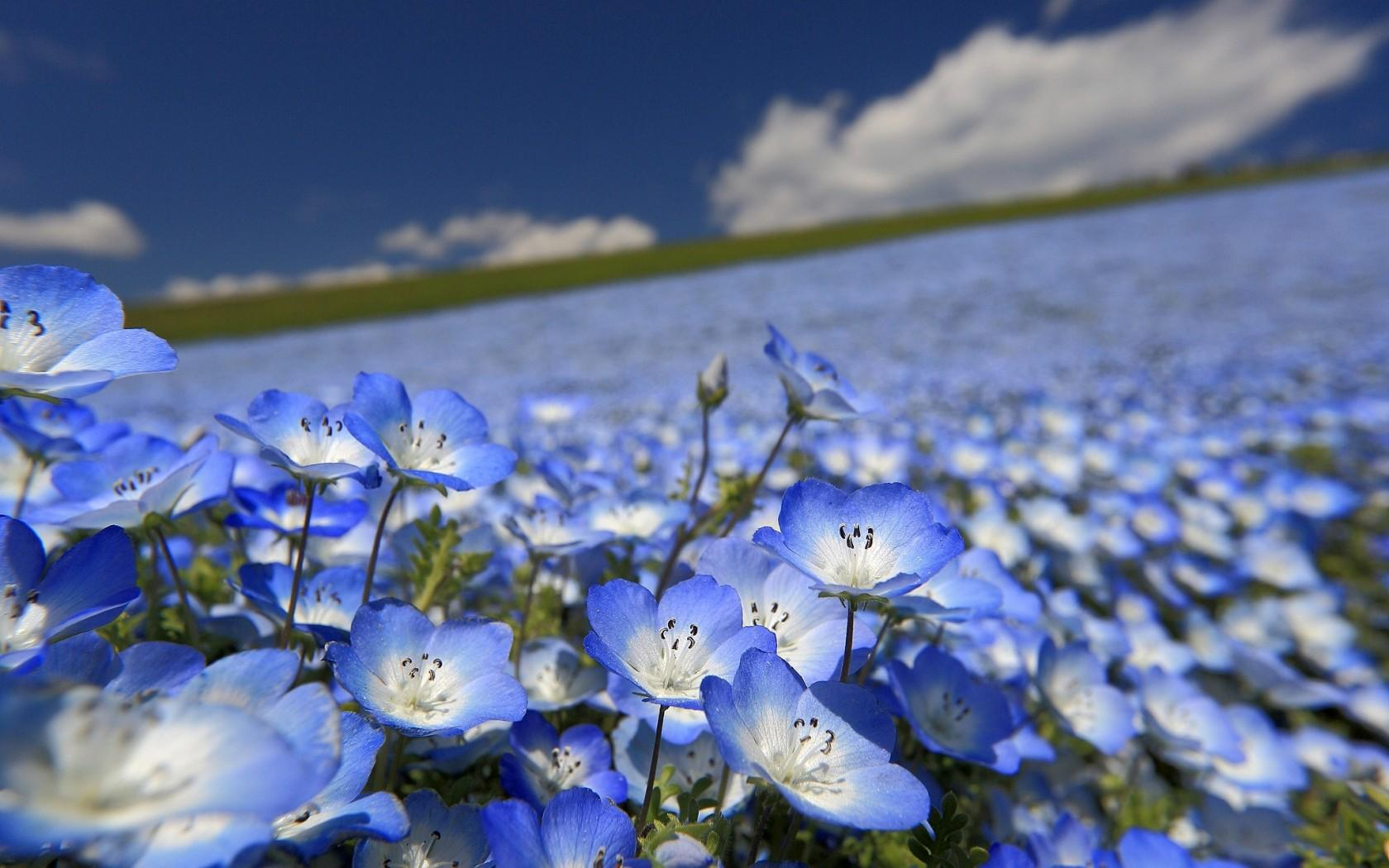 List of blue flowers 40 background hdflowerwallpaper list of blue flowers widescreen wallpaper izmirmasajfo Gallery