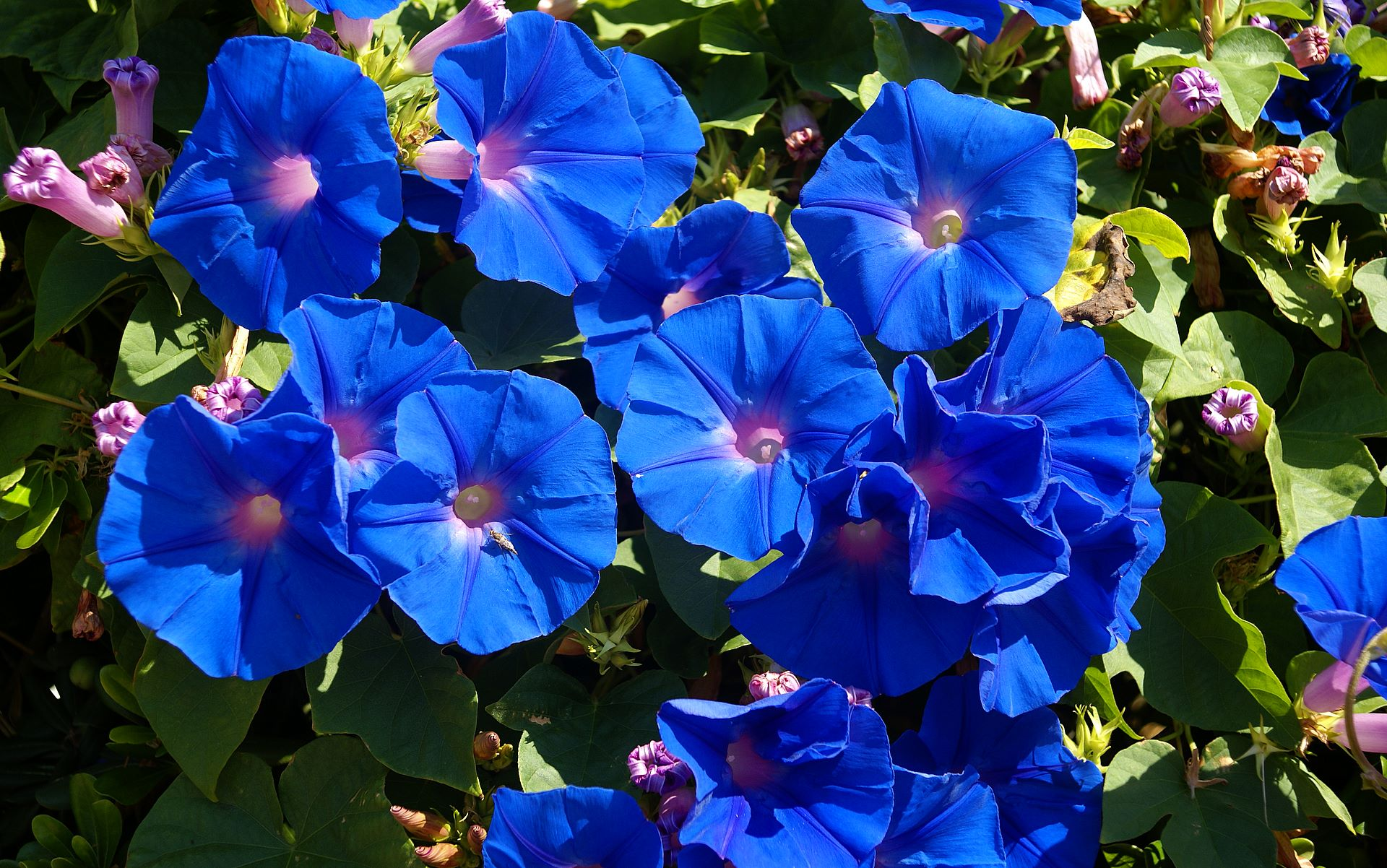 List of blue flowers names 1 free hd wallpaper hdflowerwallpaper list of blue flowers names widescreen wallpaper izmirmasajfo Gallery