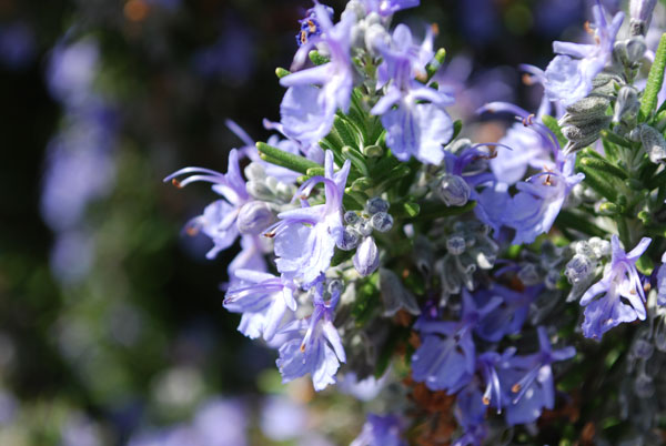 List Of Blue Flowers Names 2 Free Wallpaper
