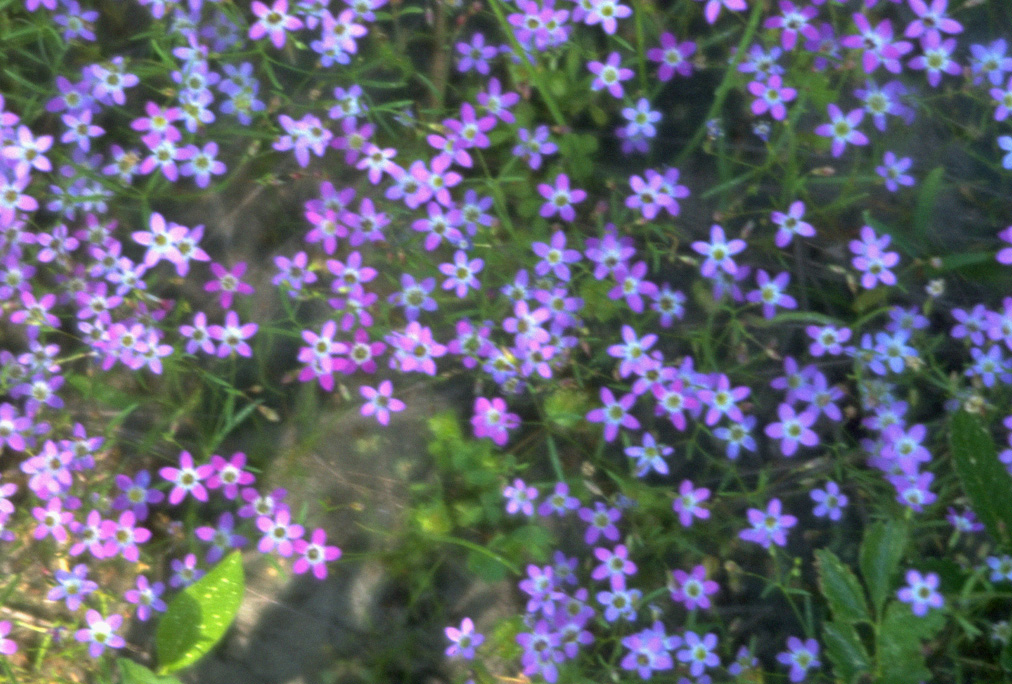 10 names of purple flowers with pictures free wallpapers for Purple flower shrub california