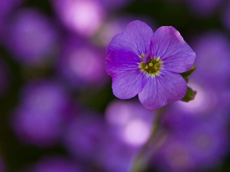 Names Of Purple Flowers With Pictures 22 Free Wallpaper ...