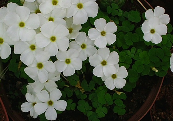 Names of white flowers 27 hd wallpaper hdflowerwallpaper names of white flowers background mightylinksfo
