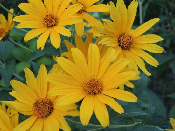 Names of yellow flowers 5 desktop wallpaper hdflowerwallpaper names of yellow flowers free wallpaper mightylinksfo