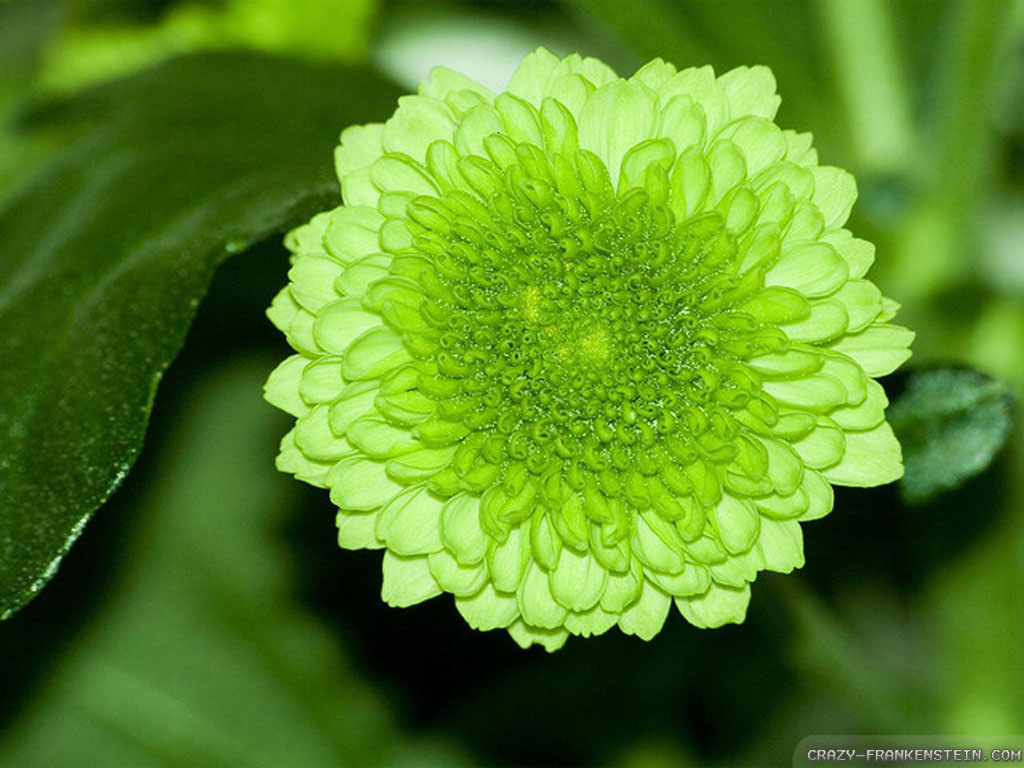 Pictures Of Green Flowers Free Wallpaper