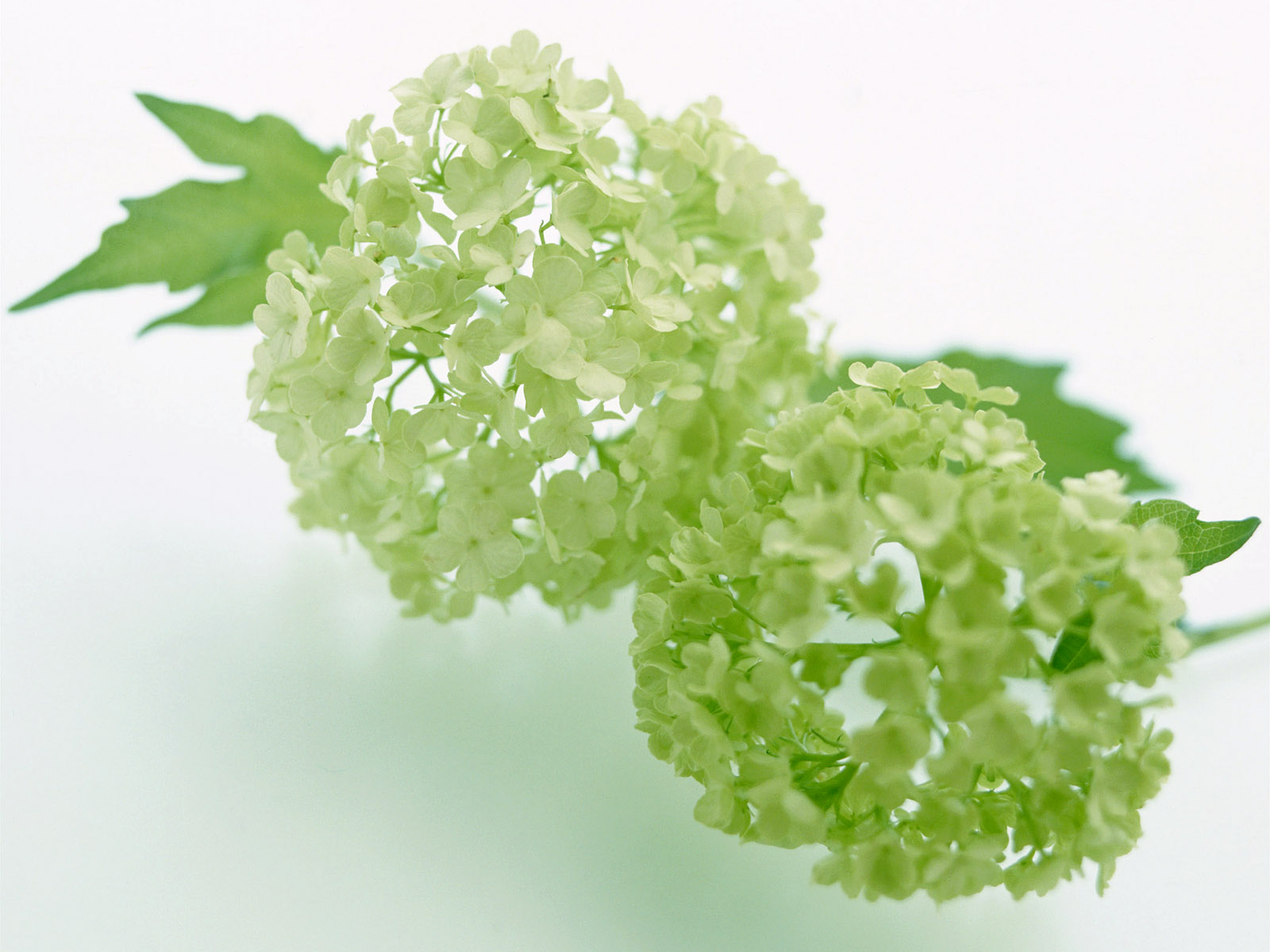 Pictures Of Green Flowers 25 Background Wallpaper