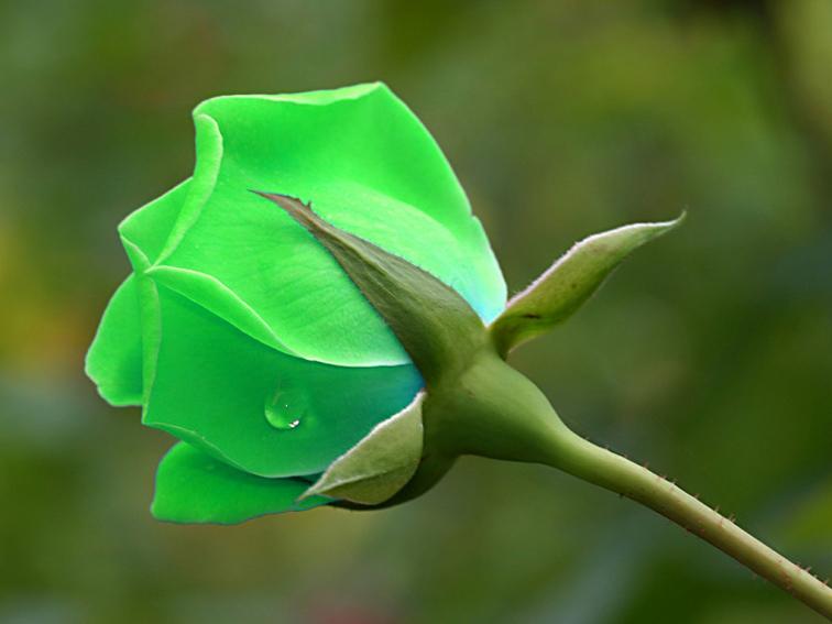 Pictures Of Green Flowers 26 Desktop Wallpaper