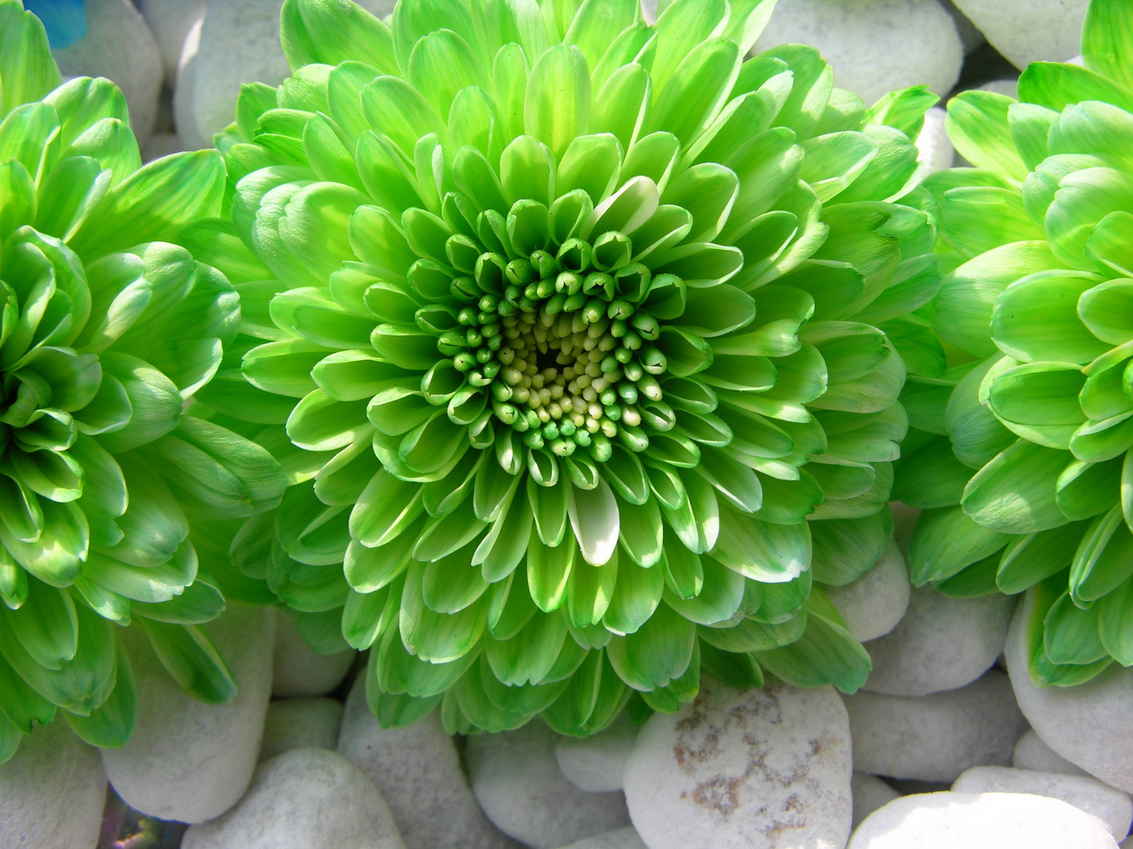 Pictures Of Green Flowers 6 Widescreen Wallpaper