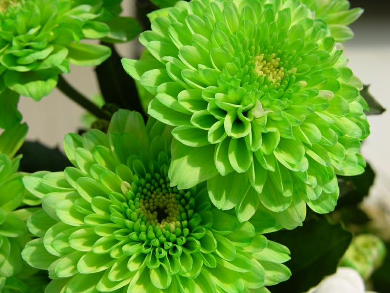 Pictures Of Green Flowers 8 Background Wallpaper