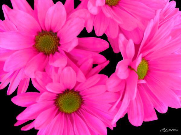 Pink Flowers Hd Wallpaper