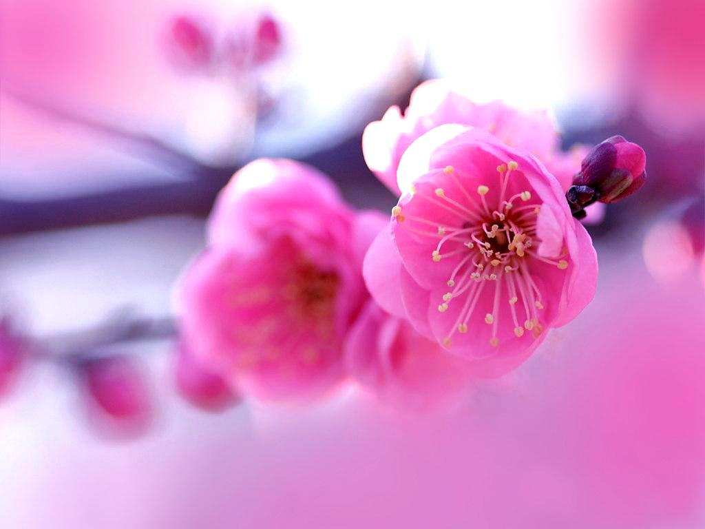 Pink flowers 152 cool wallpaper hdflowerwallpaper pink flowers free wallpaper mightylinksfo