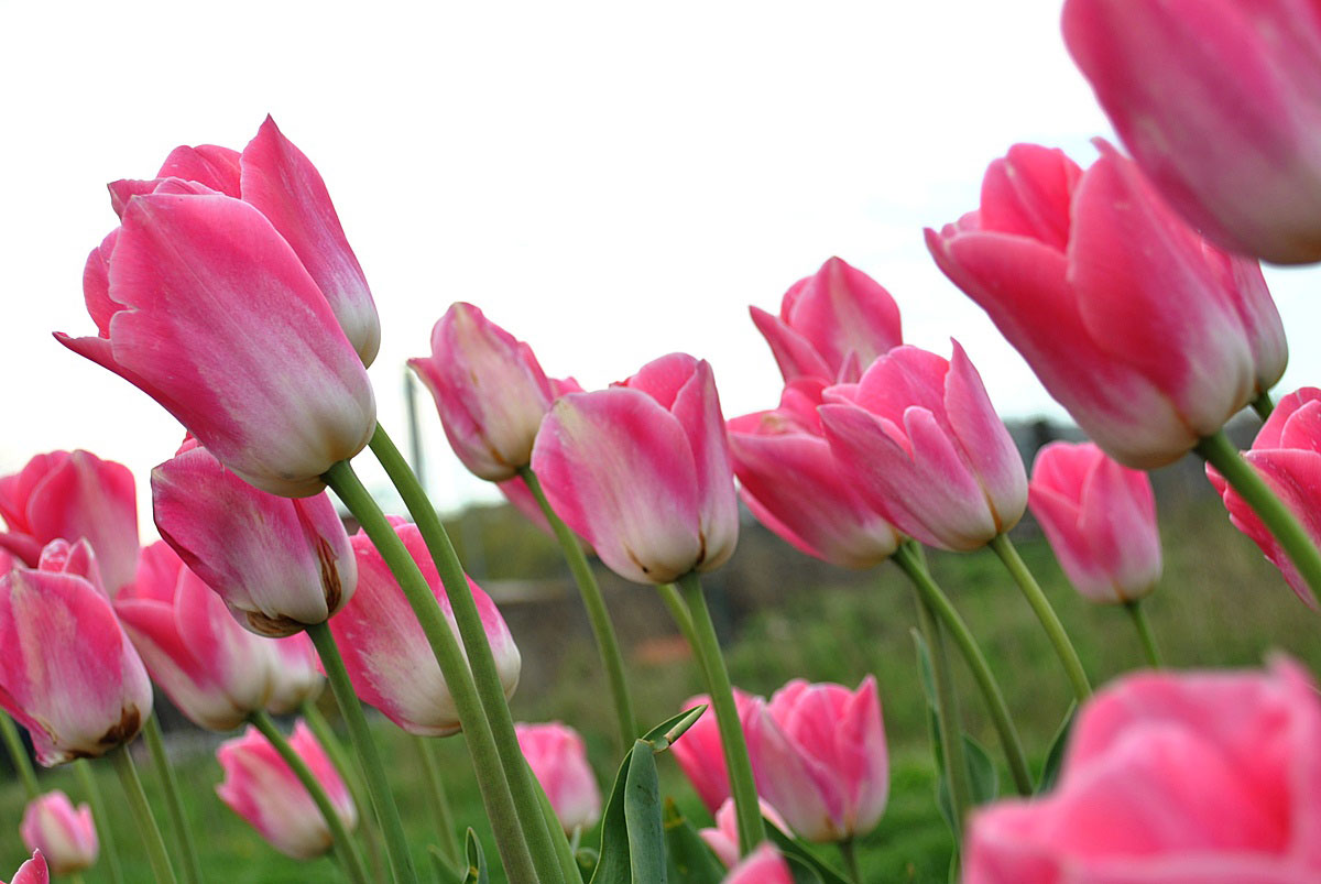 Pink flowers meaning 3 cool wallpaper hdflowerwallpaper pink flowers meaning hd wallpaper mightylinksfo
