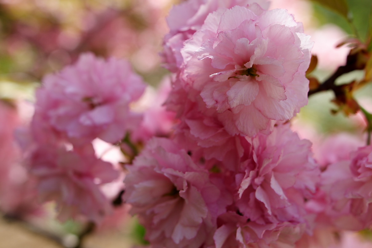 Pink flowers names and picture 3 background hdflowerwallpaper pink flowers names and picture free wallpaper mightylinksfo