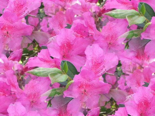 Pink Flowers Names And Picture 33 Cool Hd Wallpaper