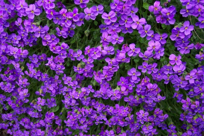 Purple flowers list 27 widescreen wallpaper for Can you get purple roses