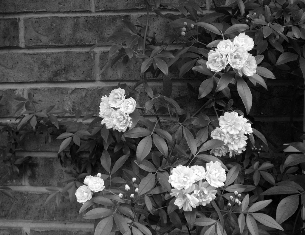 Cool Wallpaper High Resolution Black And White - real-black-flowers-10-desktop-wallpaper  Gallery_153958.jpg
