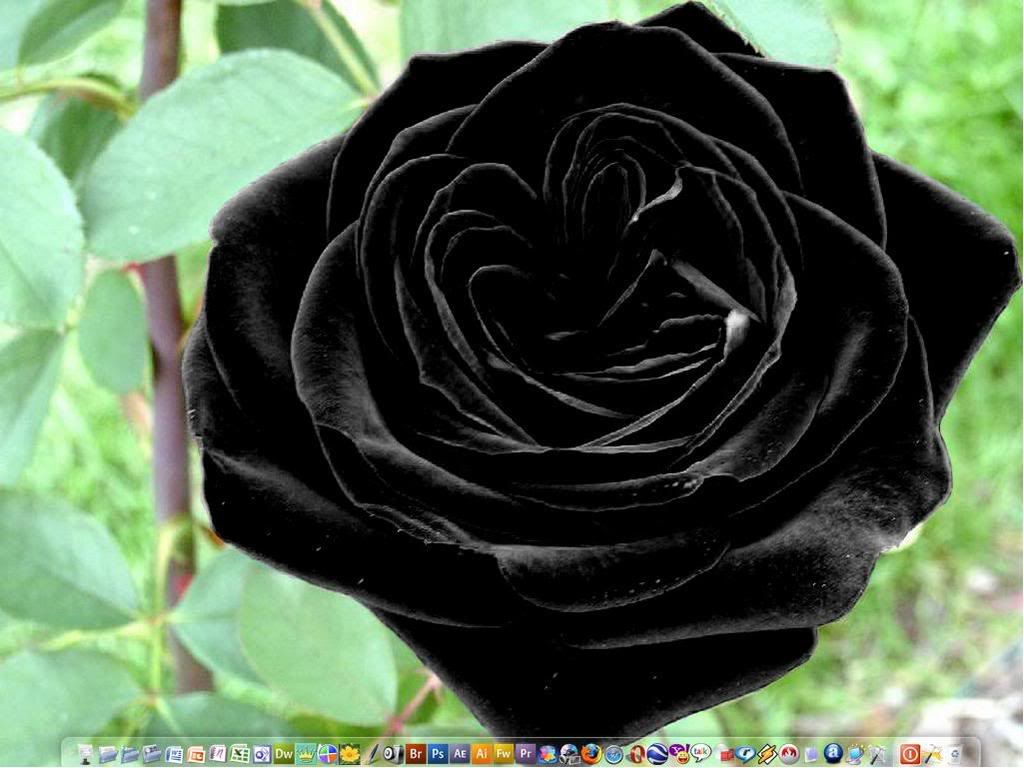 Real Black Flowers 12 Cool Wallpaper