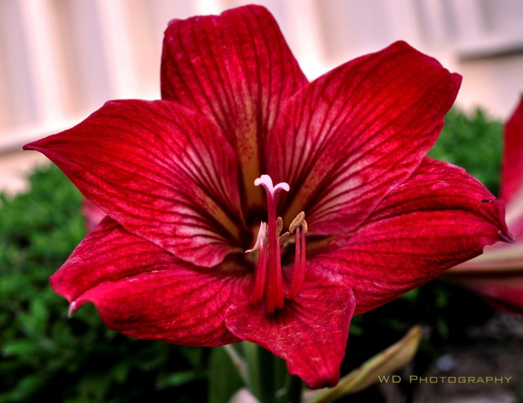 Names of red flowering plants for Flowering plants names and pictures