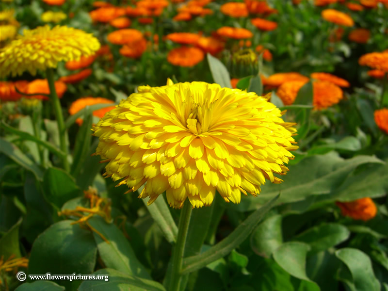 Types of yellow flowers 13 cool hd wallpaper hdflowerwallpaper types of yellow flowers 13 cool hd wallpaper mightylinksfo