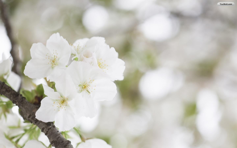 White flower 27 free wallpaper hdflowerwallpaper white flower free wallpaper mightylinksfo Images