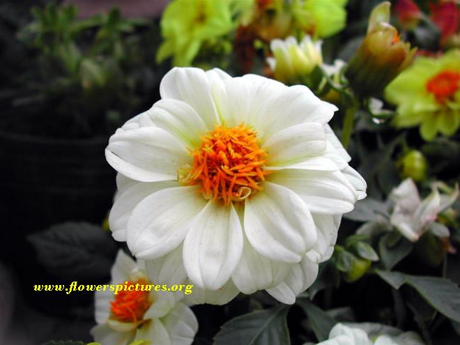 White dahlia flower meaning kitchen cabinets and flower white flowers meaning 13 wallpaper hdflowerwallpaper mightylinksfo