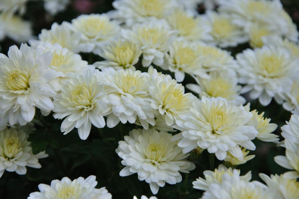 White flowers meaning 14 desktop wallpaper hdflowerwallpaper white flowers meaning background mightylinksfo