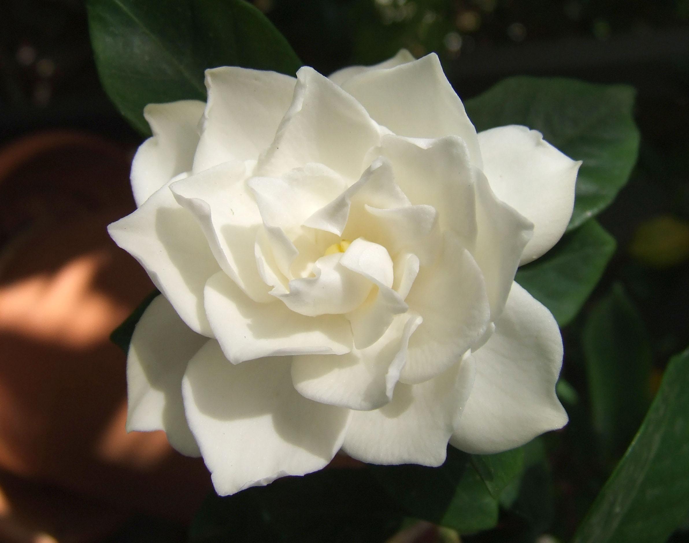 White flowers meaning 24 desktop wallpaper hdflowerwallpaper white flowers meaning free wallpaper mightylinksfo