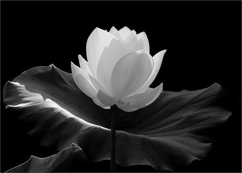 White flowers meaning 31 widescreen wallpaper hdflowerwallpaper white flowers meaning free wallpaper mightylinksfo