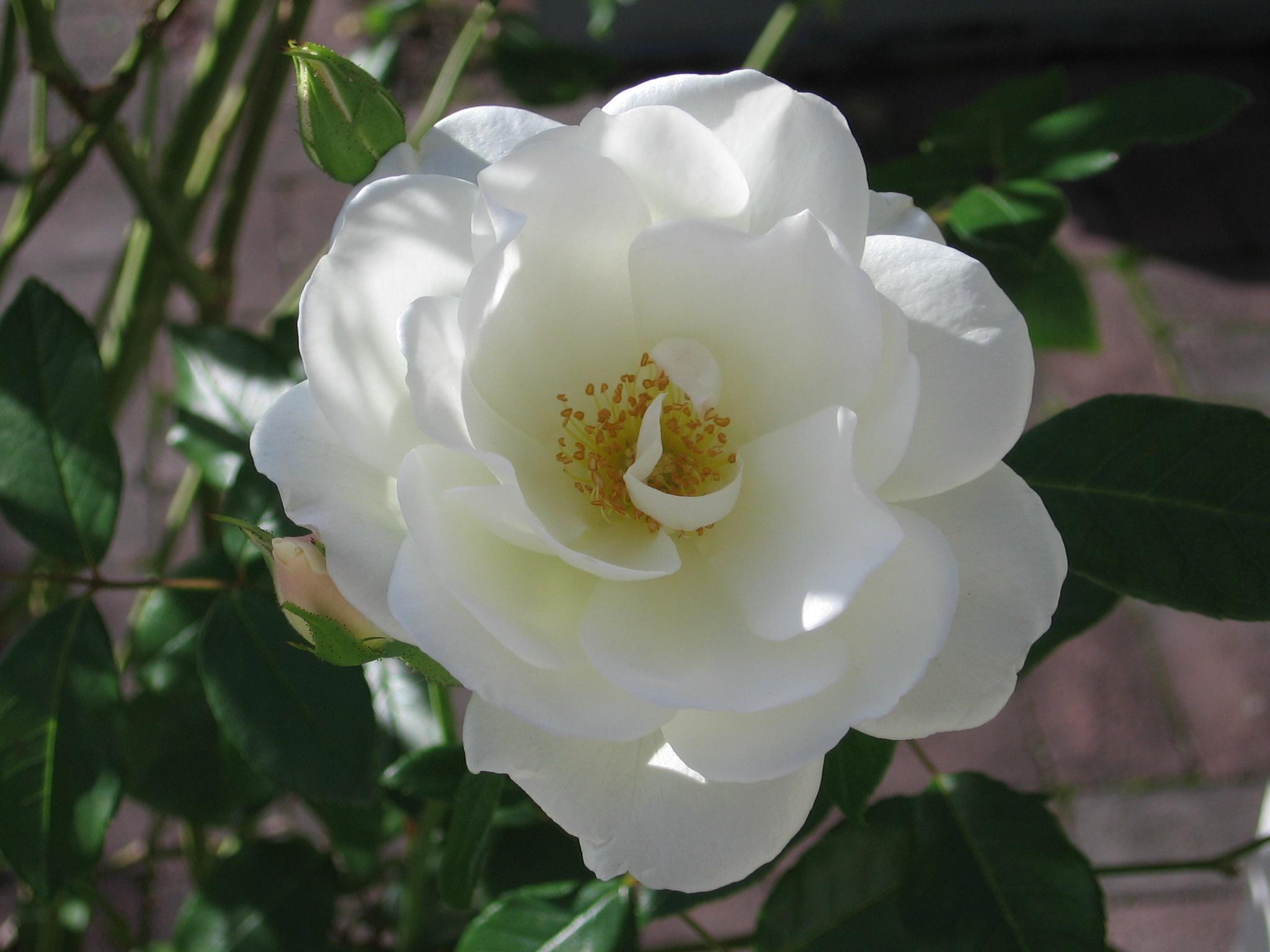 White flowers names 8 background wallpaper hdflowerwallpaper white flowers names free wallpaper mightylinksfo