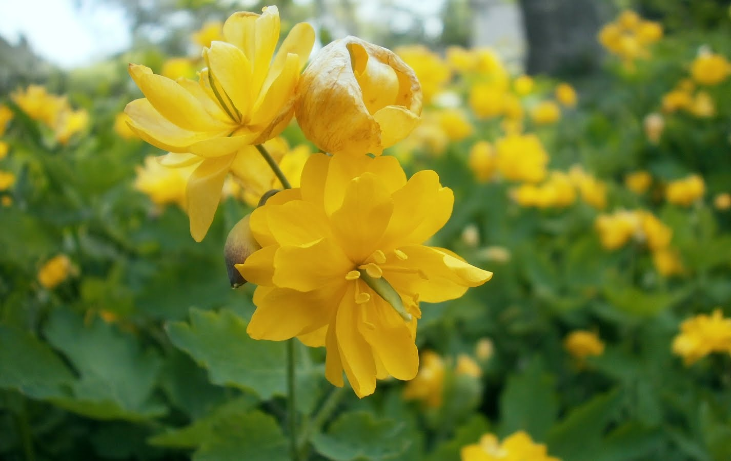 Yellow Flowers Names 4 Desktop Background Hdflowerwallpaper