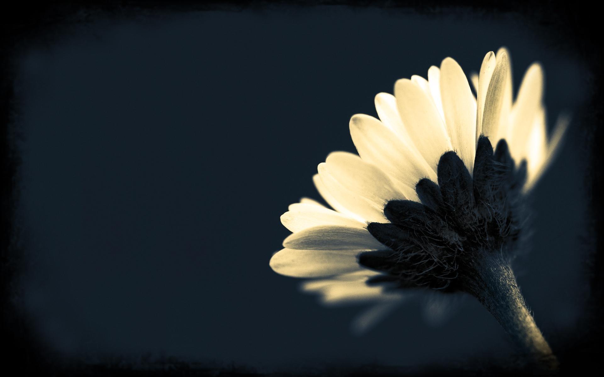 black flowers and plants 8 free hd wallpaper hdflowerwallpaper com