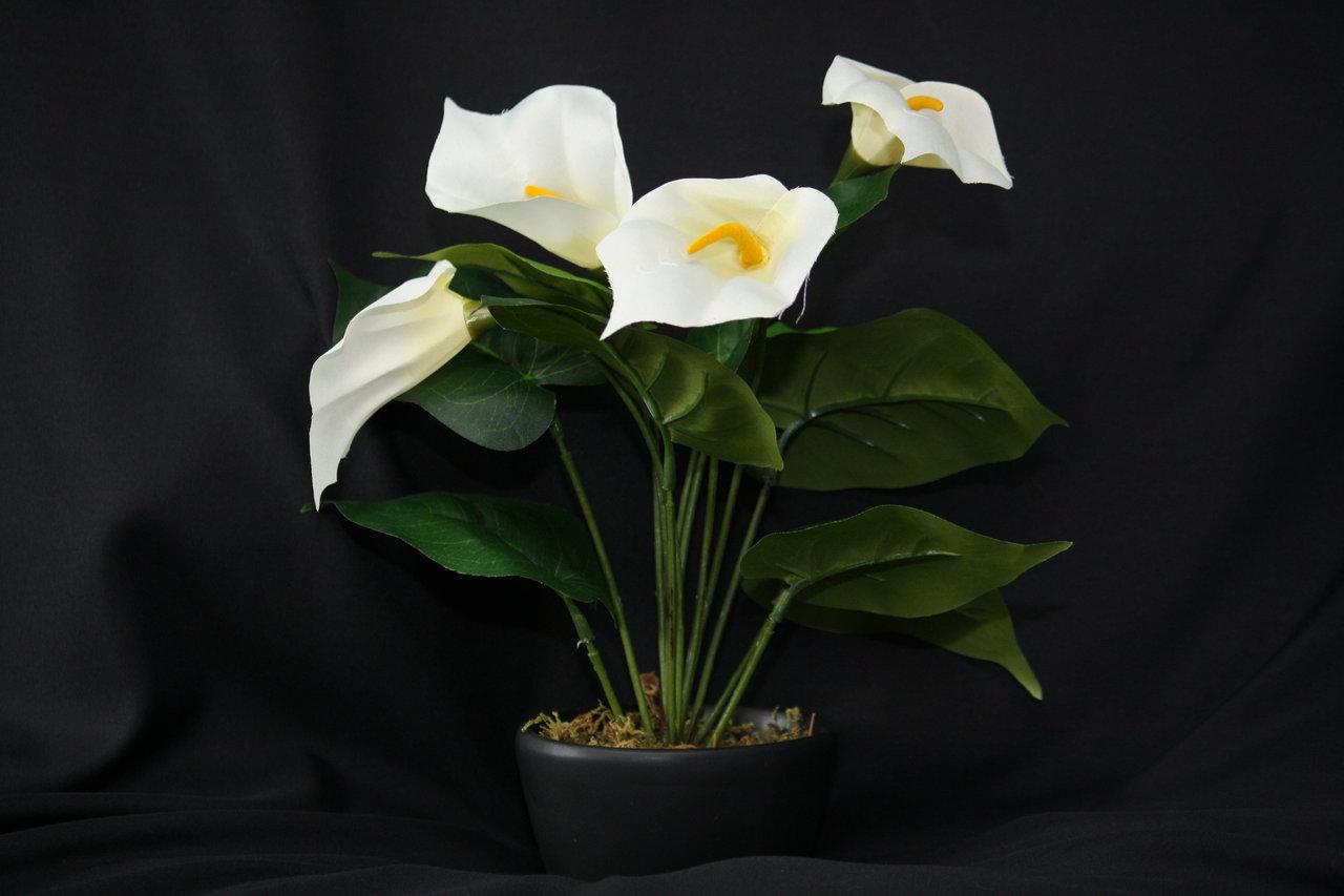 Кала цветок фото домашнее