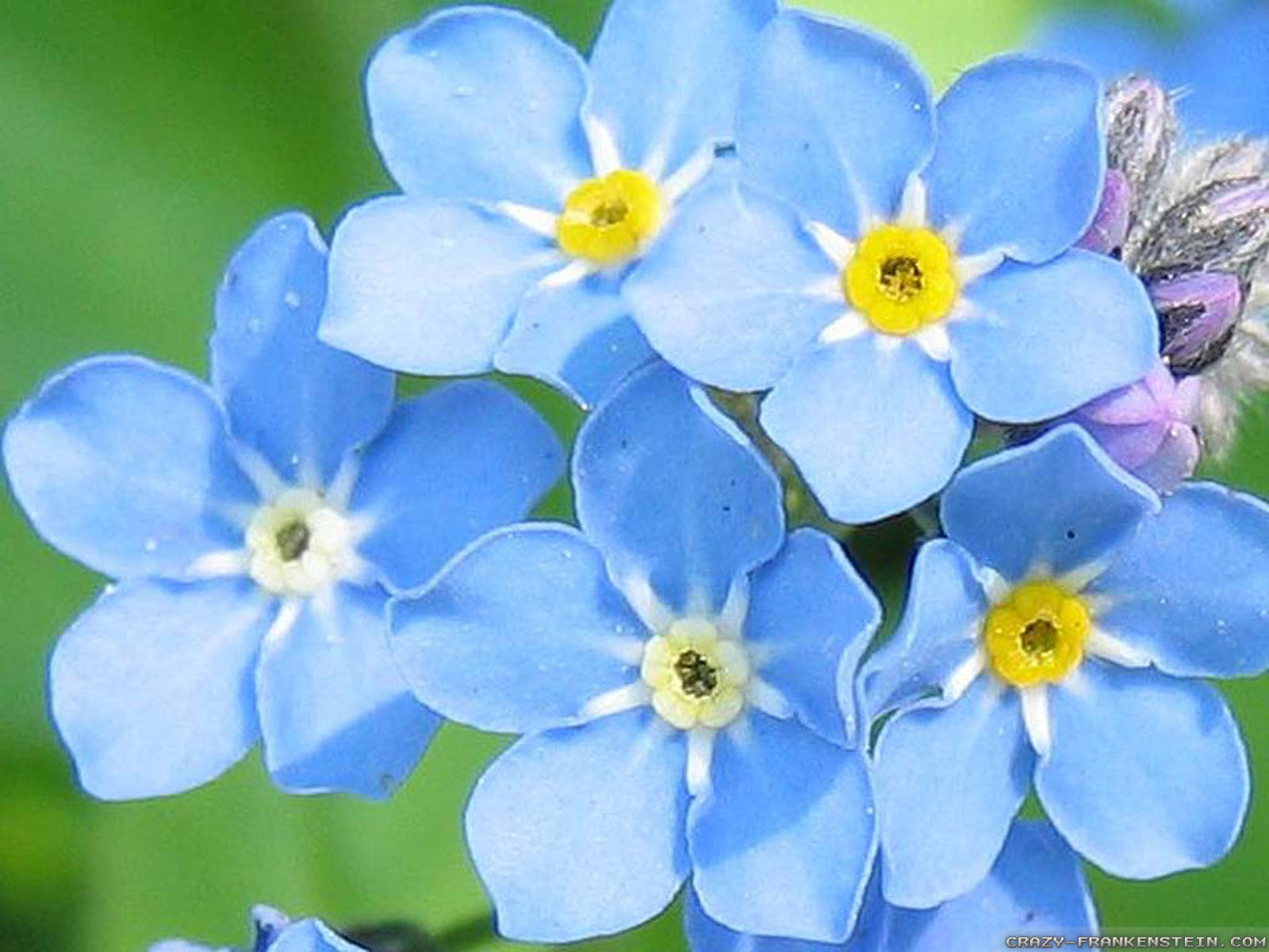Blue flowers available in october 18 background hdflowerwallpaper blue flowers available in october widescreen wallpaper izmirmasajfo