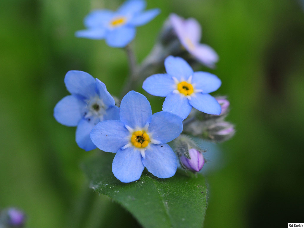 Blue Flowers Names 108 Free Wallpaper