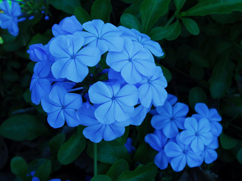 Blue flowers names and meanings 11 free hd wallpaper blue flowers names and meanings desktop background mightylinksfo