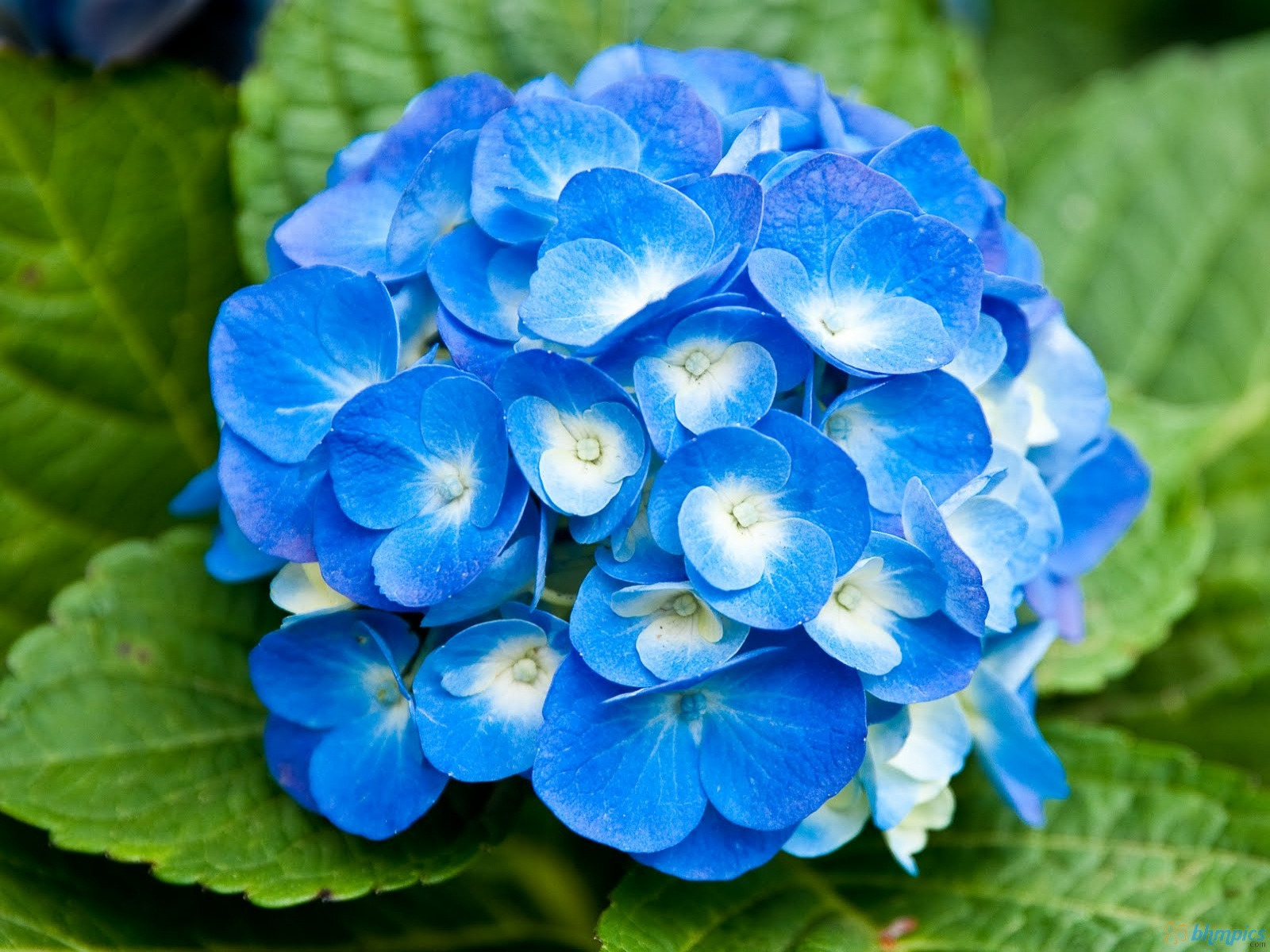 Blue Flowers Names And Meanings 21 Hd Wallpaper