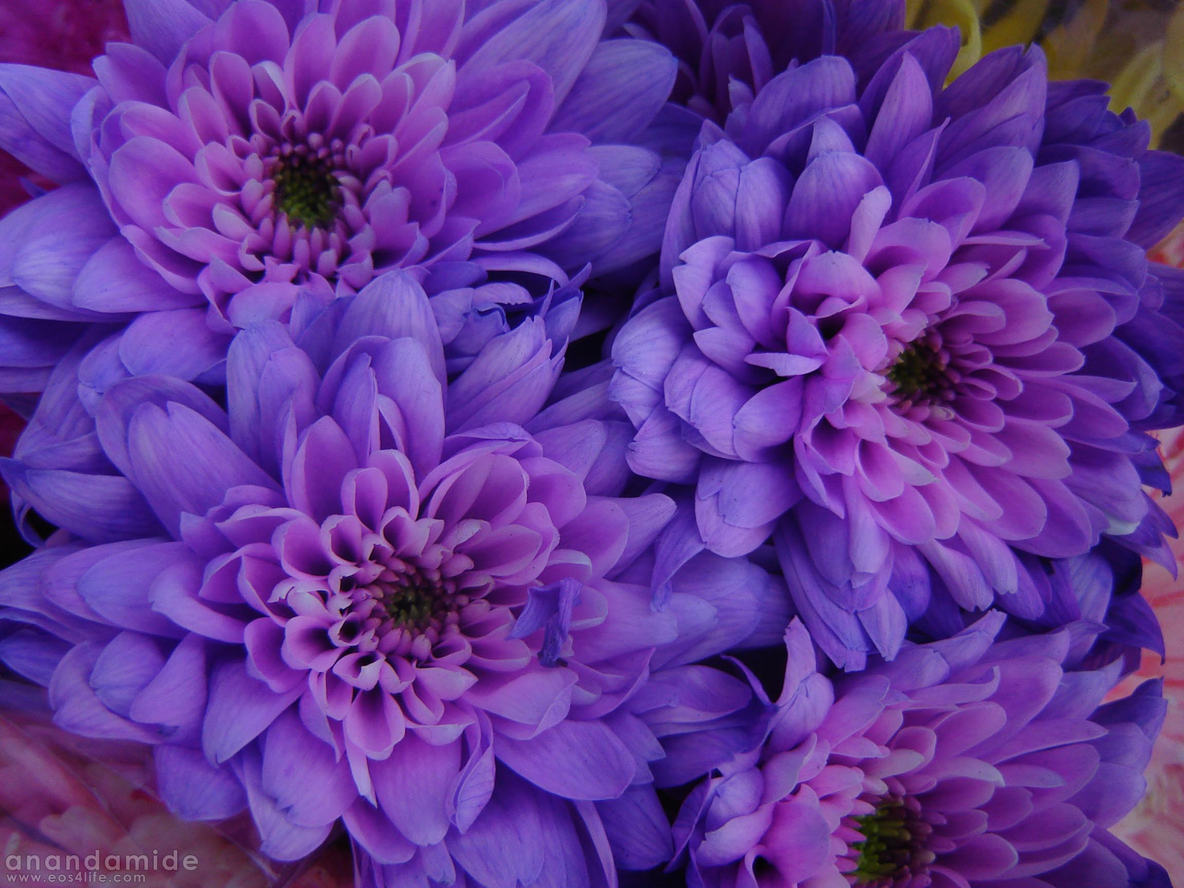 Purple flowers names purple flower types with pictures beautiful pink flowers and names desktop wallpaper mightylinksfo Images