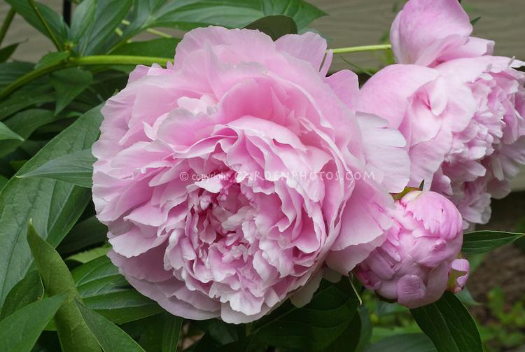 Pink flowers bloom late summer 32 hd wallpaper hdflowerwallpaper pink flowers bloom late summer hd wallpaper mightylinksfo