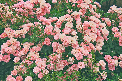 Pink flowers tumblr 22 desktop wallpaper hdflowerwallpaper pink flowers tumblr hd wallpaper mightylinksfo