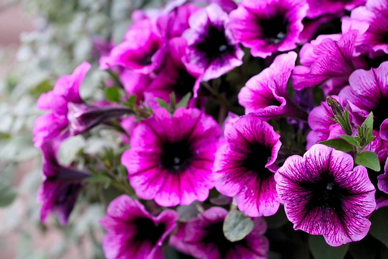 Purple Flowereanings Wide Wallpaper