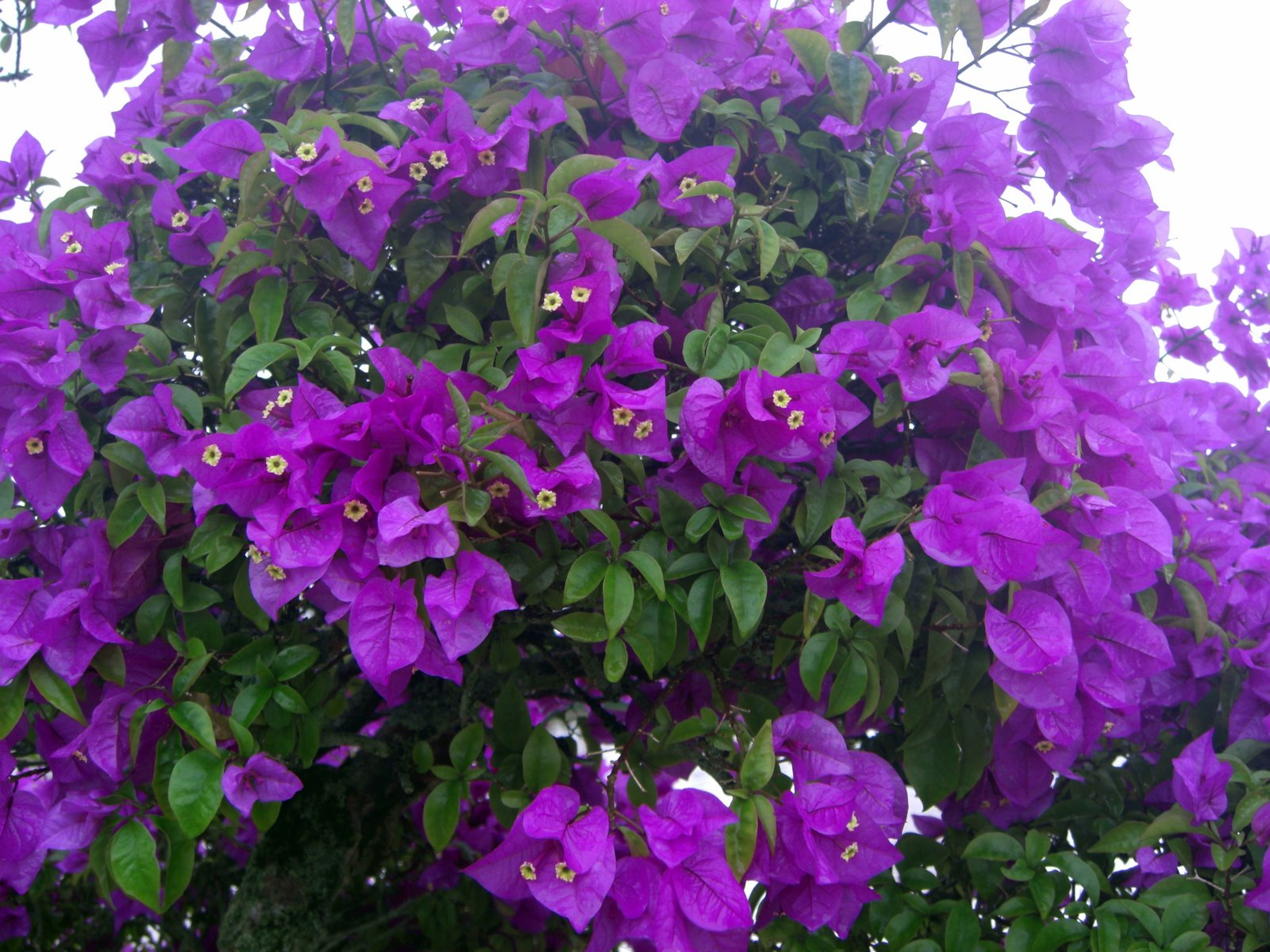 Purple Flowers Bush 28 Widescreen Wallpaper Hdflowerwallpaper