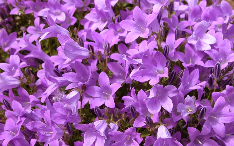 Purple Flowers Meaning Images Fresh Lotus Flowers