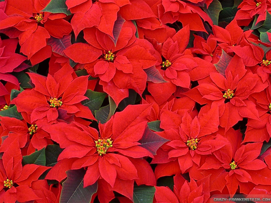 red flowers for christmas 11 background wallpaper