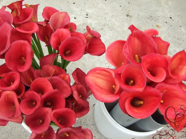 Types Of Red Flowers Widescreen Wallpaper
