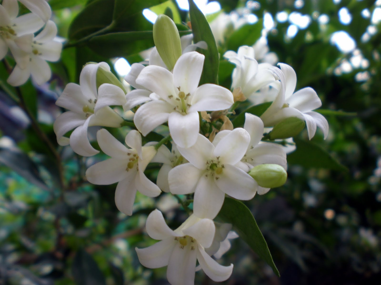 White flowers by name 5 widescreen wallpaper hdflowerwallpaper white flowers by name 5 widescreen wallpaper mightylinksfo