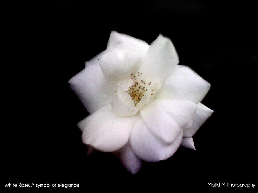 White flowers symbolism 1 cool hd wallpaper hdflowerwallpaper white flowers symbolism free wallpaper mightylinksfo Gallery