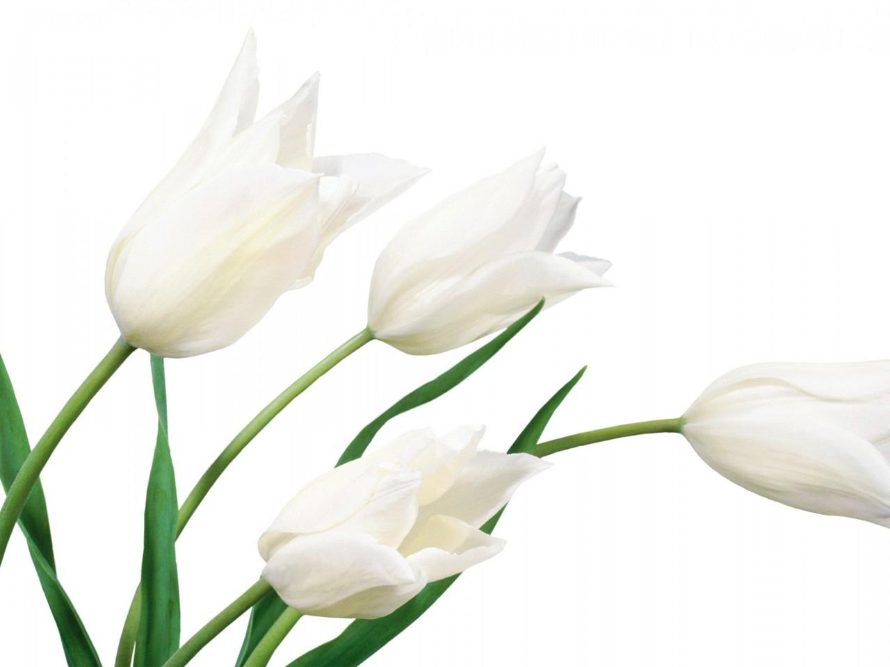 White flowers symbolism 10 widescreen wallpaper hdflowerwallpaper white flowers symbolism free wallpaper mightylinksfo Gallery
